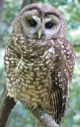 1-1-owl-spotted