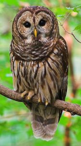 1-1-owl-barred
