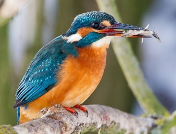 1-kingfisher
