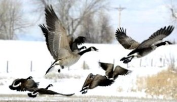 1a-canada-geese2