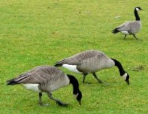 1a-canada-geese