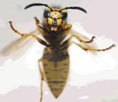 1-a-chinese-wasp