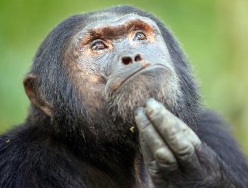 1-a-chimp-thinker
